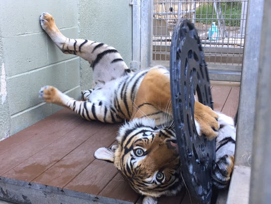 Tiger Arya