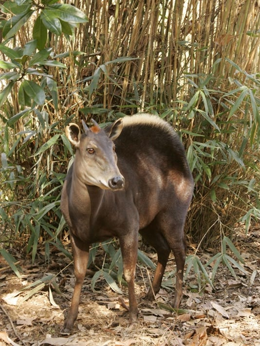 635611855438105801-7-yellow-backed-duiker-vertical