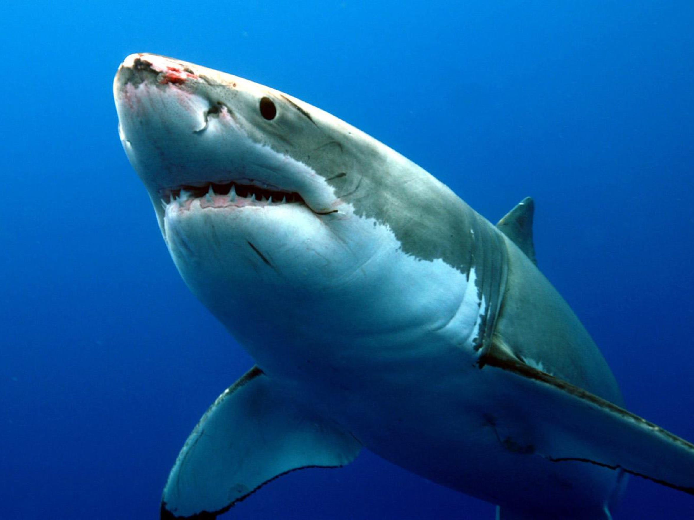 A great white shark eyes prey in the Pacific Ocean