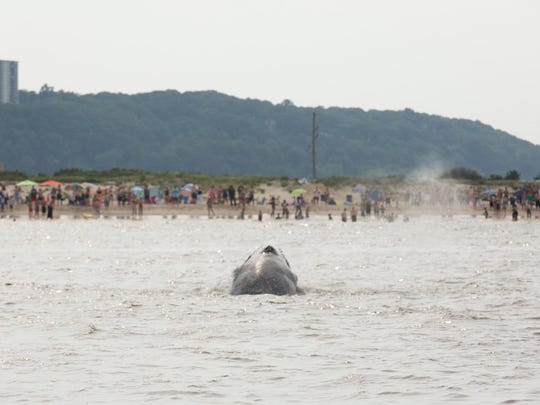 A humpback whale was spotted feeding Sunday afternoon on the ocean side of Sandy Hook. Beachgoers cheer as the whale surfaces.