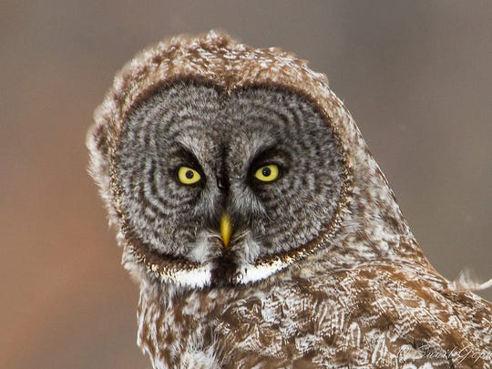 This owl is much further south than is usual. Photographed in Juneau County recently.
