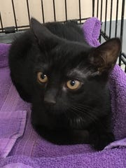 Maggie, a 10-week-old black spayed female, was one