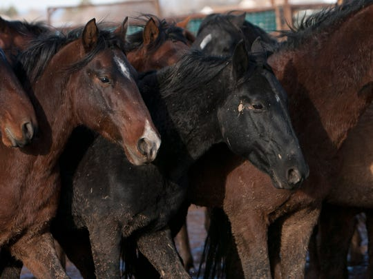 In this file photo, wild horses interact in a holding corral in Enterprise after the BLM wild horse removal in December 2010.
