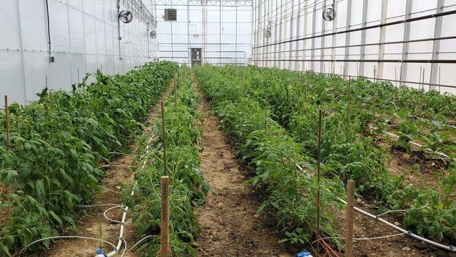 A greenhouse at Pocono Organics in Long Pond, Pa.