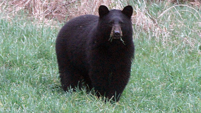 A Nevada couple received death threats after they reported a black bear like this one grazing in a field in Calais, Vt., to wildlife officials. The bear was later euthanized.
