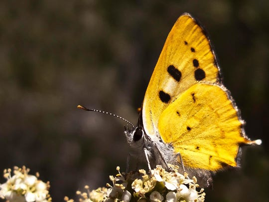 A Hermes copper butterfly near Barrett Lake, south of Alpine, southeastern San Diego County, Calif.
