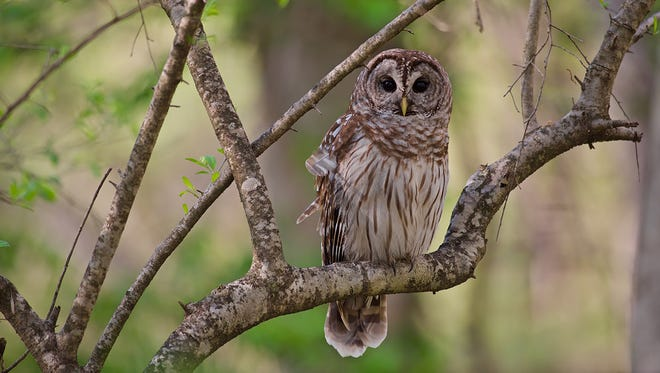 A pair of barred owls like this one attacked turkey hunter Al Porter as he sat near the edge of a field on a recent hunt.