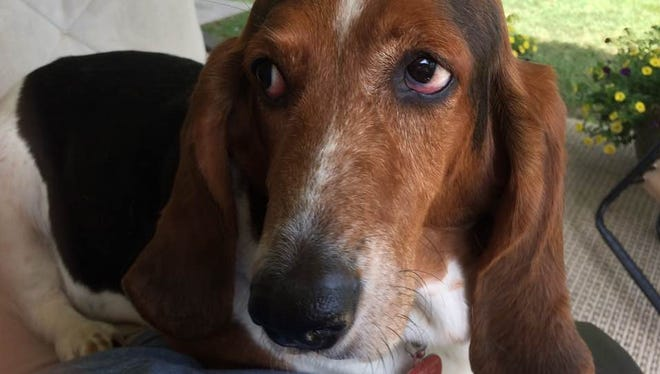 John Boyle's basset hound, Molly, survived a recent attack by a 100-pound pit bull who went directly after her neck while she was on a walk in his neighborhood.