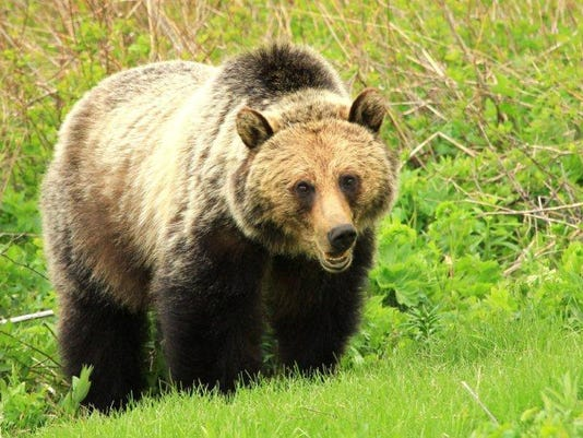 Tracking grizzlies