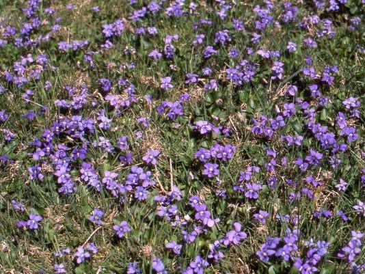 poff violets.jpg