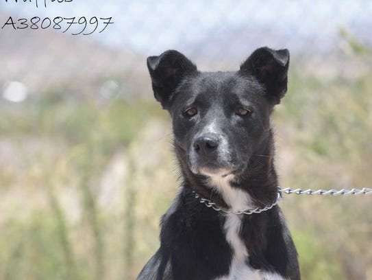 Waffles - Female (spayed)Lab mix, about 5 years old.