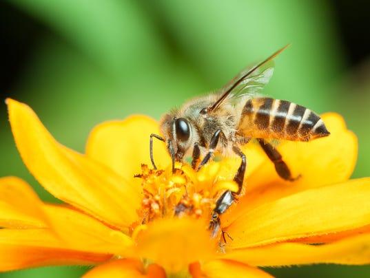 Macro of honey bee eating nectar