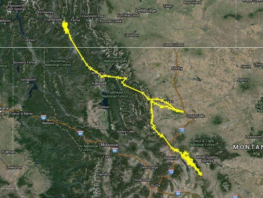 The yellow indicates the route a female mountain lion