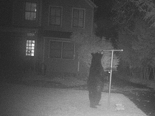 A motion-sensitive camera caught this bear dining at an Allendale feeder.