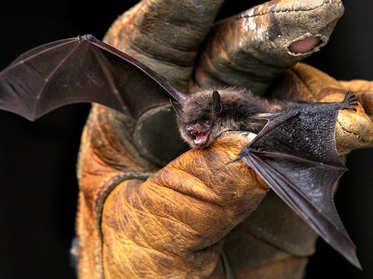 FILE - In this Sept. 17, 2010 file photo a little brown bat is photographed in La Crosse Wis. Researchers for the first time found that little brown bats appear to be showing resistance to white-nose syndrome, which has killed millions of bats across North America. (Peter Thomson  /La Crosse Tribune via AP, File)