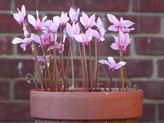 dainty flowers of hardy cyclamens
