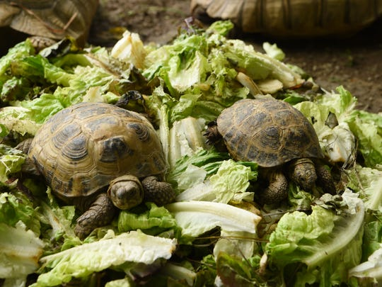 Two Russian tortoises enjoy some romaine lettuce for lunch in an enclosure set up in Scott McGillicuddy's yard in the Town of Poughkeepsie.