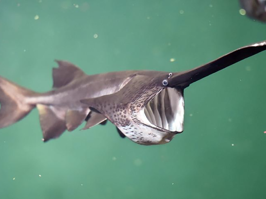 Paddlefish are sometimes called freshwater sharks and can reach weights of over 140 pounds.