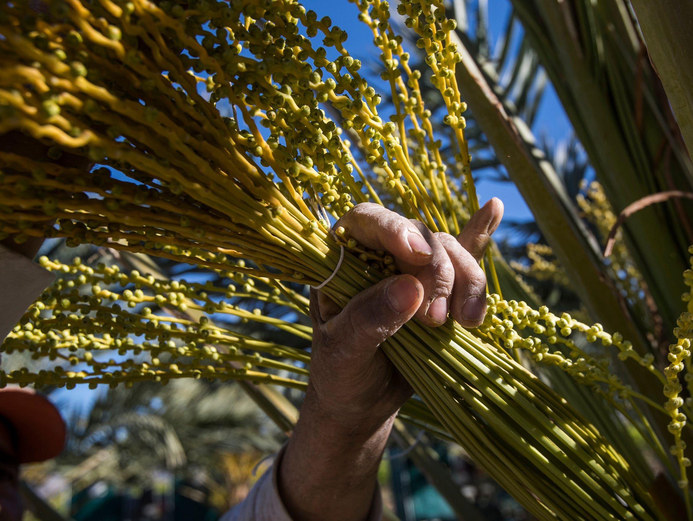 Salvador Sevilla, a palmero who has been working with dates over the past three decades, learned his craft on 56-foot palm trees. In this photo he prepares a female bunch which will be pollinated.