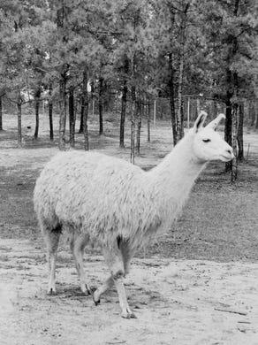 1974: A llama at Great Adventure.
