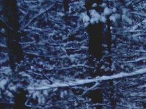 Wolves captured on trail cameras