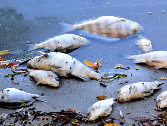 Fish kill in Banana River