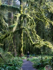 A brief appearance of sunshine illuminates moss  draping from trees in the Hoh Rain Forest.