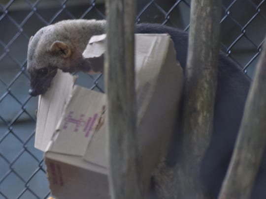 A tayra tears open a box to get at its food during the Alexandria Zoo's FOTAZ Feeding Frenzy held Saturday. The organization, Friends Of The Alexandria Zoo, held a special morning event for its members where they were able eat breakfast at the zoo and watch animals eating theirs. The tayra is native to Mexico, Central America and South America.