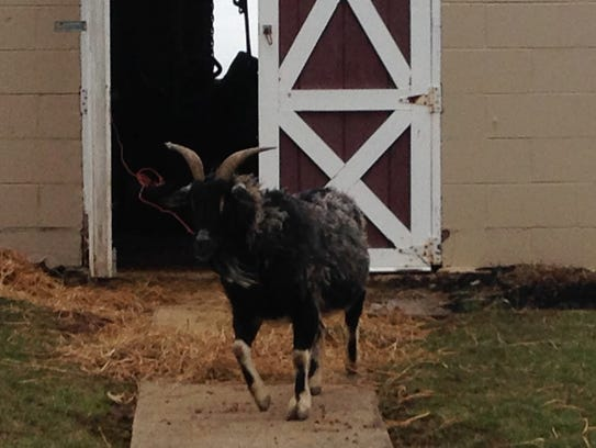 Leonard the goat leaves his high-water home (owner