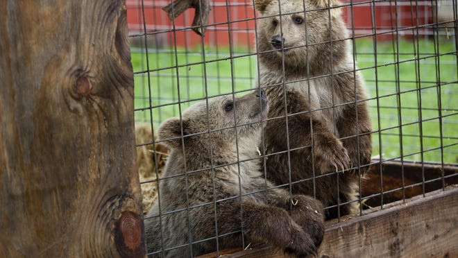 Two Syrian brown bears sit together in an enclosure Thursday, September 3, 2015 at Summer Wind Farms Sanctuary in Brown City.