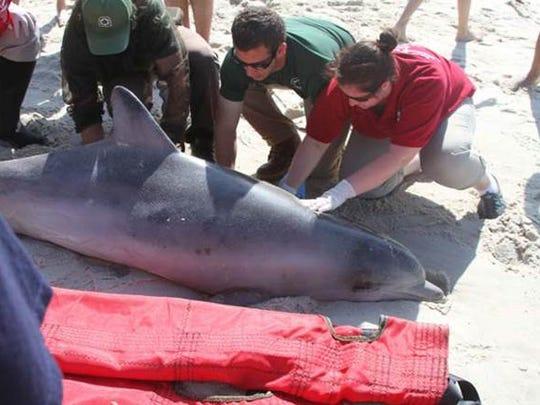 A live bottlenose dolphin on Tobay Beach in Nassau