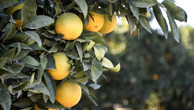 Sun shines on oranges in an Exeter field Monday afternoon. With freezing to subfreezing low temperatures expected through Thursday morning, local citrus farmers are paying close attention to their thermometers.