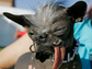 "In this Friday, June 22, 2007 file photo, Chinese Crested dog ""Elwood"" appears at the 2007 World's Ugliest Dog Contest in Petaluma, Calif. Elwood, who weighed in at just 6 lbs and was rescued as the result of a New Jersey SPCA investigation, won the title of World's ugliest dog of 2007. The 25th running of the World's Ugliest Dog contest takes place Friday, June 20, 2014, at the Sonoma County Fair in Petaluma, Calif."