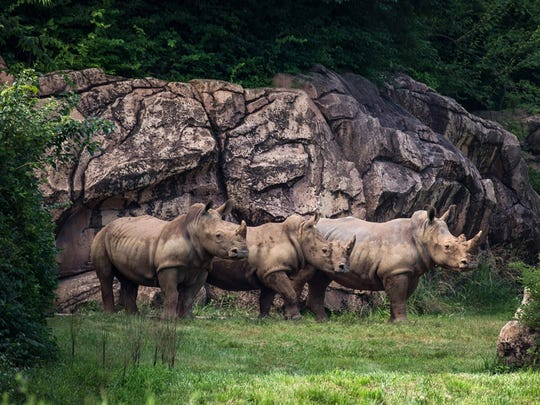 Southern White Rhinos Now Roaming at Nashville Zoo.