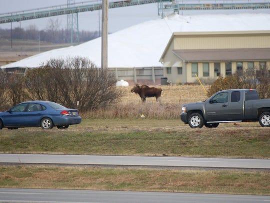 A moose is seen Thursday morning near Interstate 90 near Brandon.