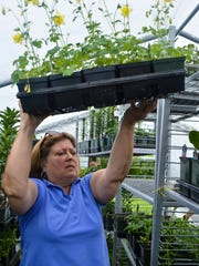 Cathy Burns places a flat of Columbine flowers on a shelf in a greenhouse as Master Gardeners prepare for the upcoming Plant Sale.