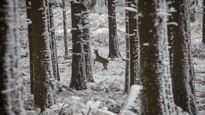 A deer scared by a stroller jumps through the ice and snow covered forest at the Grosser Feldberg mountain, in central Germany, Wednesday, Dec. 3, 2014. (AP Photo/dpa, Frank Rumpenhorst)