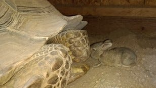 The baby hare meets the 50-pound tortoise at Ritz Carlton, Dove Mountain.