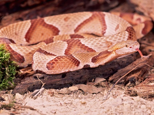 Northern copperhead snakes are among Tennessee's venomous snakes.
