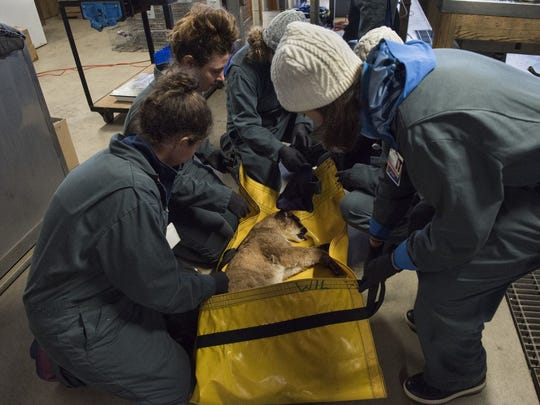 The 5-month-old mountain lion had mostly second-degree