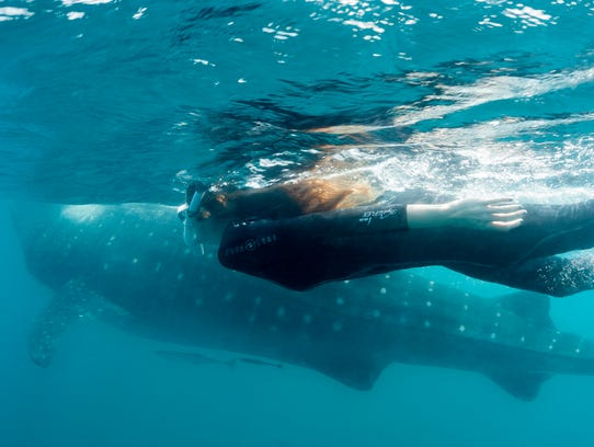 Carmen Hoyt swims with the whale sharks in Mexico.
