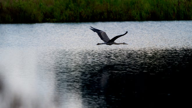A heron flies in the TVA Wetland Viewing Area in Harriman, Tennessee on Thursday, July 13, 2017.