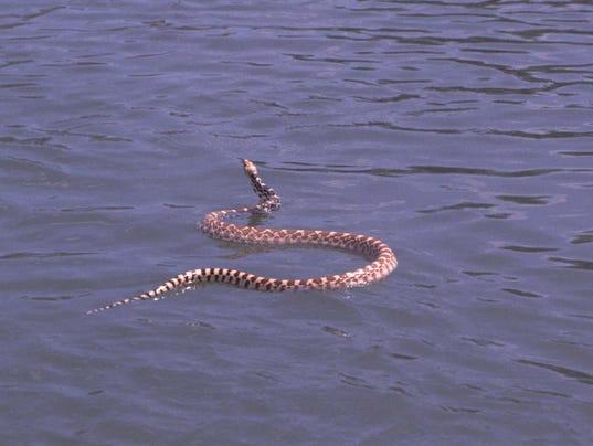 636349675098315308-bullsnake-swimming.jpg