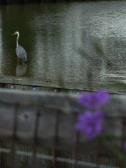 A great blue heron stalks fish in the water of the