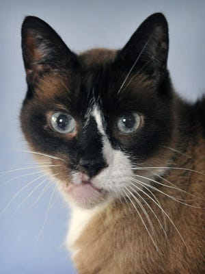 Sam is an eight-year old, male Siamese cat. He has been neutered, vaccinated and microchipped. Sam is calm, affectionate and is available for adoption at the Wichita County Humane Society.