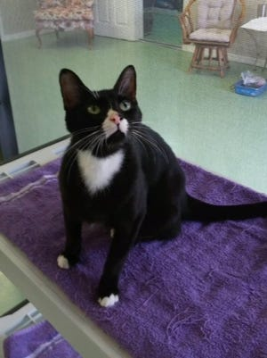 Tulip, a cat available for adoption through Caring Fields Felines