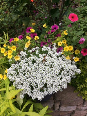 White Knight sweet alyssum looks like a patch of snow in this container with Supertunia Picasso in Purple petunia and Superbells Yellow calibrachoa.