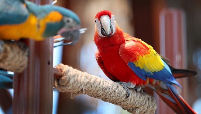 The macaws make an appearance for an afternoon show and feeding in the pavilion at the Indianapolis Zoo. The young birds are still learning their way around the zoo with the help of the macaw trainers.