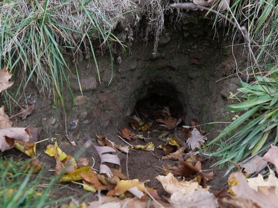 Groundhog holes dot the section of Mt. Hope Cemetery that houses the grave site of Frederick Douglass. This tunnel extends several feet underground.