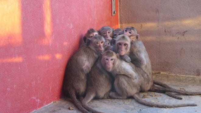 Monkeys huddled together at Primate Products' farm. A USDA report says the animals were kept in too-cold cages. A PETA video prompted the USDA to investigate the farm; the company said it is working to correct such conditions.